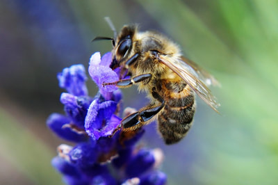 Honey bee feeding. Photo by John Davidson.