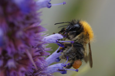 Carder bumblebee. Photo by John Davidson.