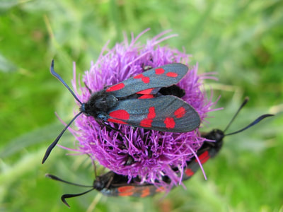 Six-spot burnet moths. Photo by Graeme Watson.