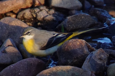 Grey wagtail. Photo by John Davidson.