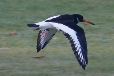 Oyster catcher. Photo by John Davidson.