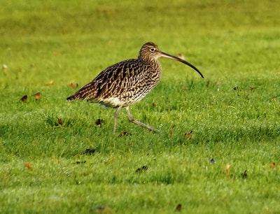 Curlew. Photo by John Davidson.