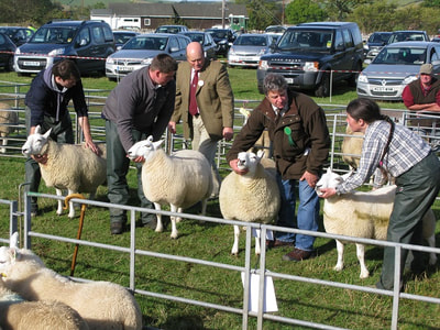 Inspecting the rear ends of sheep at Yetholm Show.