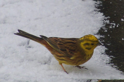 Yellowhammer. Photo by John Davidson.